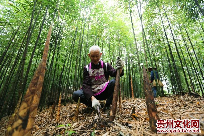万博官网manbetx赤水:5万余亩大竹笋迎来收获季